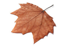 высушенные изолированные листья Стоковые Изображения