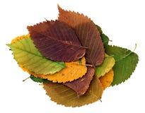 Высушенные листья вяза поля Стоковое Фото