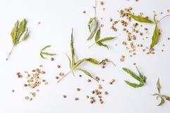 Высушенные листья и семена конопли на белизне стоковая фотография
