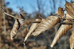 Высушенные листья на дереве в зиме Стоковое Фото