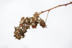 Высушенные листья Цветки в зиме Стоковая Фотография
