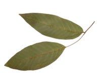 Высушенные и отжатые листья изолированного грецкого ореха Стоковая Фотография RF