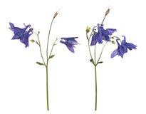 Высушенные и отжатые цветки голубого колокольчика изолированного на белой предпосылке Стоковые Изображения RF