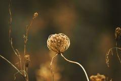 Высушенные коричневые цветки против теплой солнечности Стоковое фото RF