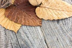 Высушенные красочные листья и гайки на серой деревянной предпосылке Стоковая Фотография