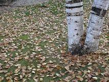 Высушенные листья дерева тополя падая осенью сезон, Стоковое Изображение