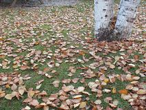 Высушенные листья дерева тополя падая осенью сезон, Стоковая Фотография RF