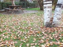 Высушенные листья дерева тополя падая осенью сезон, Стоковая Фотография