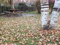 Высушенные листья дерева тополя падая осенью сезон, Стоковое Изображение RF