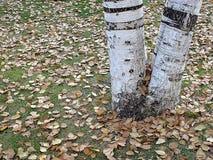 Высушенные листья дерева тополя падая осенью сезон, Стоковые Фотографии RF