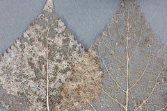 Высушенные листья скелета на серой предпосылке Стоковое Изображение
