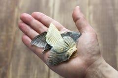 Высушенные ребра blowfish для ради Hirezake японского горячего выпивают стоковое фото