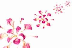 Высушенные розовые лепестки Стоковое фото RF