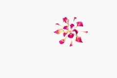 Высушенные розовые лепестки Стоковое Изображение RF