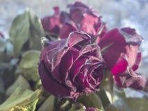 Высушенные розы внешние во время захода солнца в зиме Стоковое фото RF