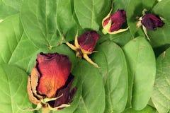 Высушенные розы Стоковое Фото