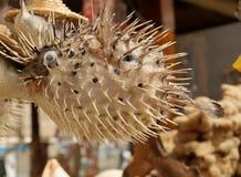 Высушенные рыбы скалозуба Стоковые Изображения