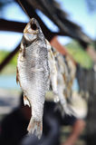 Высушенные рыбы соли Стоковое Фото