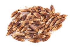 Высушенные семена плодоовощей от финиковой пальмы изолированной на белой предпосылке Стоковое Фото