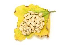 Высушенные семена тыквы на желтея и умирая листьях тыквы Стоковое Изображение RF