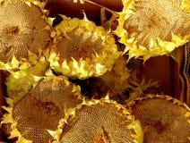 высушенные солнцецветы Стоковые Изображения RF