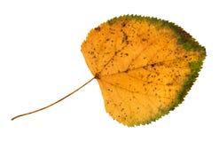 Высушенные упаденные лист осени липы отрезанные вне стоковые фото