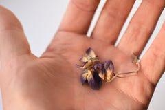 Высушенные фиолетовые цветки в руке, конце-вверх, изоляте стоковая фотография