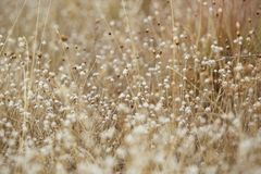 Высушенные цветок и трава поля для предпосылки природы стоковое изображение