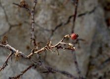 Высушенные ягода или плод шиповника на Spindly ветви Стоковые Фото
