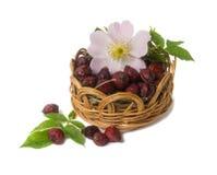 Высушенные ягоды и цветки одичалой розы изолированные на белом backgro стоковое изображение