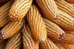 высушенные corncobs Стоковая Фотография RF