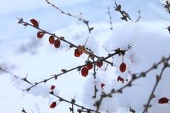 Высушенный барбарис сибиряка ягод Стоковые Изображения
