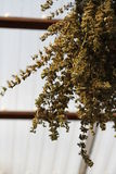 Высушенный бальзам лимона Стоковые Фото