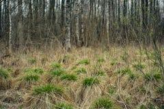 Высушенный вверх по болоту весны сухие торошения с scallops молодой зеленой травы на фоне рощи березы стоковое изображение rf