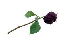 Высушенный-вверх розовый цветок старый стоковое фото rf