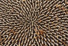 высушенный головной солнцецвет семян Стоковые Фотографии RF