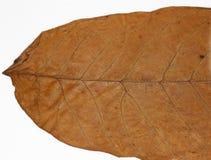 высушенный грецкий орех листьев Стоковые Изображения RF