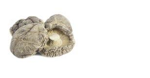 высушенный гриб Стоковое Фото