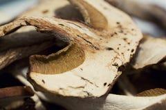 Высушенный гриб porcini Стоковая Фотография RF