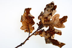 высушенный дуб листьев Стоковое Изображение RF