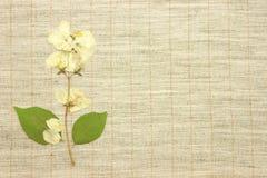 высушенный жасмин Стоковые Фотографии RF