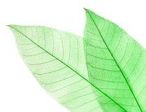высушенный зеленый цвет изолировал белизну листьев 2 стоковое фото