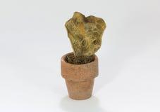 Высушенный кактус Стоковая Фотография RF