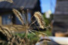 Высушенный колосок в солнце в саде стоковые изображения