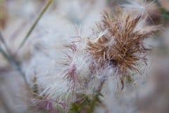 Высушенный конец-вверх цветка thistle Стоковые Изображения