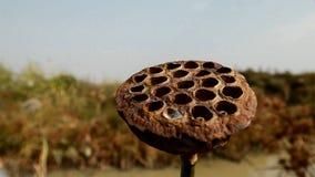 Высушенный лотос в пруде стоковые фотографии rf