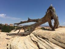 Высушенный можжевельник в каменной пустыне стоковая фотография rf