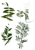 Высушенный отжимающ листья сладостных горохов Стоковое Изображение