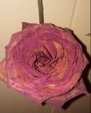 Высушенный подняло полностью цветене стоковое изображение