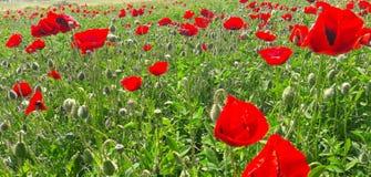 высушенный солнцецвет семян Стоковое Изображение